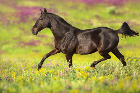 Bay horse trotting on flower  meadow