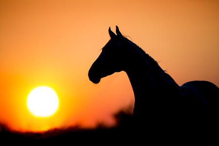Horse silhouette on sunset background