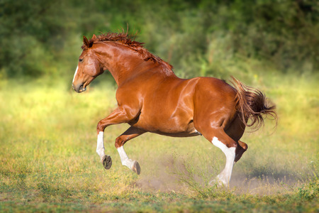 Red horse free run gallop Stock Photo