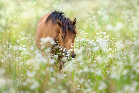 Bay horse on flowers meadow