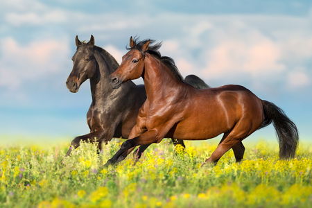 Two bay horses run gallop on flowers field