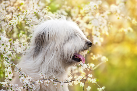 South russian sheepdog in the midst of blossoming flowers Stock Photo