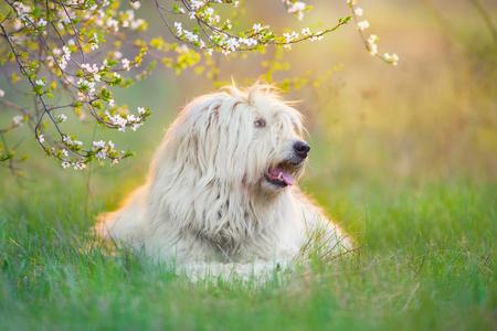 South russian sheepdog resting on green field