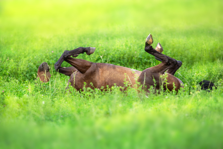 Bay horse rolling on its back on the field