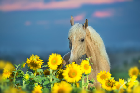 Palomino horse standing in a sunflower field Stock Photo