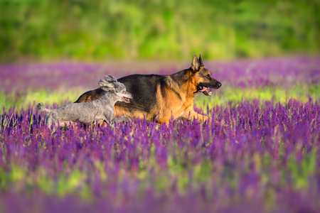German shepherd and poodle running through a lavender field