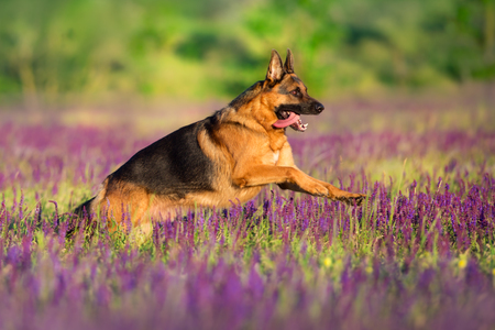 German shepherd running through a lavender field 免版税图像
