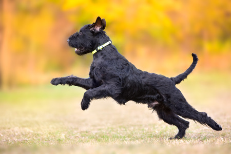 Giant Schnauzer running and jumping on a field