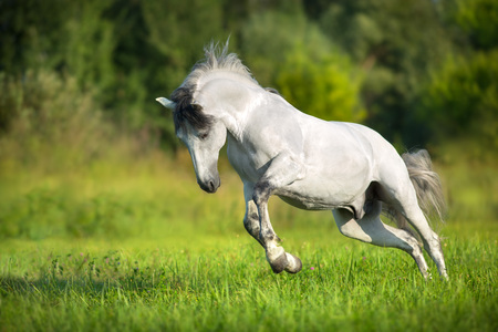 White Andalusian horse galloping in the field.