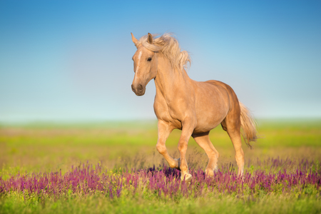 Cremello horse with long mane running through a meadow 免版税图像