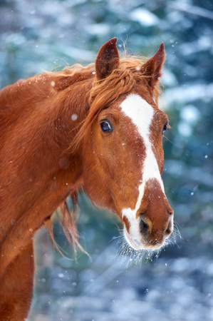 Horse portrait in winter snow day