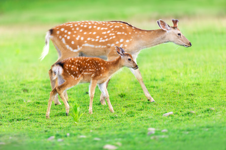 Deer with baby in green field