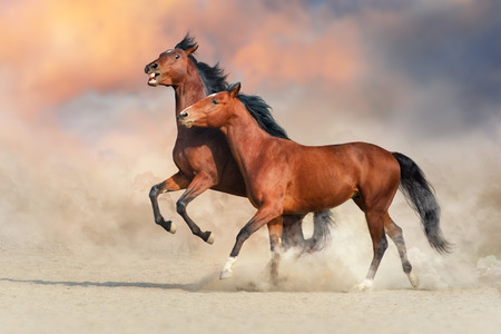 Two Bay horse run gallop in desert sand and play