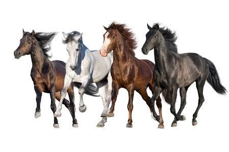 Horse herd run fast in white background