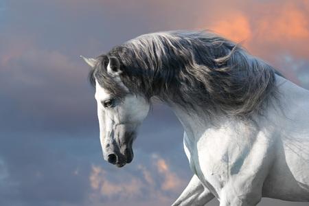 Andalusisch paard met lange manen galop van dichtbij Stockfoto