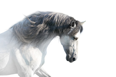 White andalusian horse portrait on white background. High key image