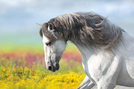 Andalusian horse with long mane run gallop close up in flowers meadow