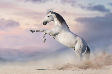 Weißes Pferd, das sich im Wüstenstaub aufbäumt