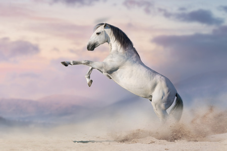 White horse rearing up in desert dust