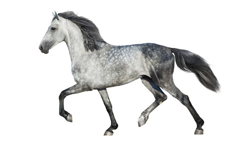 White  horse trot on white background