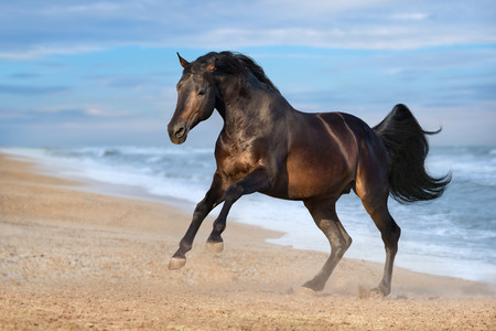 Bay horse running gallop along the beach Stock Photo