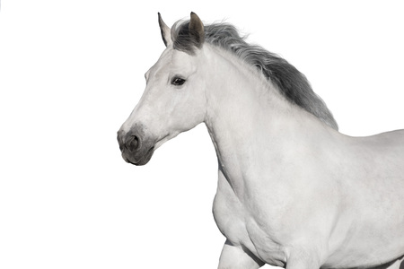 White horse portrait on white background. High key image
