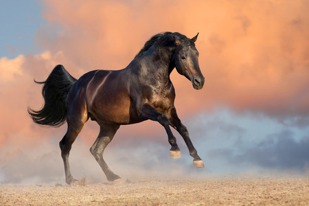 Bay stallion run gallop  against sunset clouds