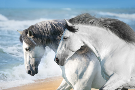White horses run fast on ocean shore 版權商用圖片
