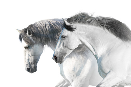 White  horses  portrait with long mane on white background. High key image Фото со стока
