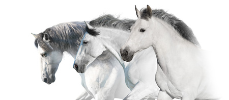 White  horses  portrait with long mane on white background. High key image 免版税图像