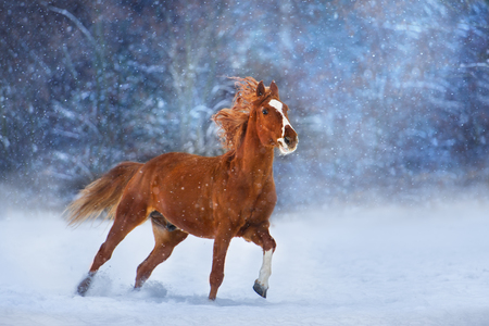 Red horse with long mane run fast in winter snow day Standard-Bild - 117969818