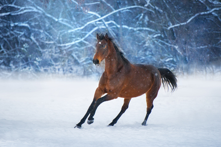 Bay horse with long mane run fast in winter snow day Standard-Bild - 117969820