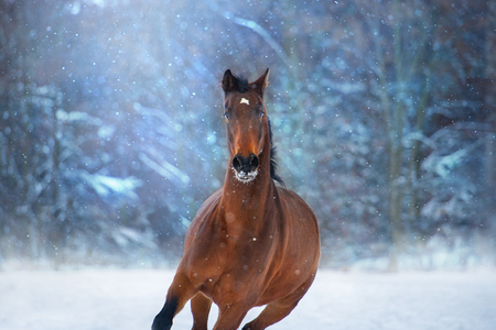 Bay horse with long mane run fast in winter snow day Stock Photo