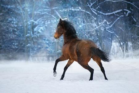 Bay horse with long mane run fast in winter snow day Standard-Bild - 117969826