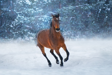 Bay horse with long mane run fast in winter snow day Standard-Bild - 117969828