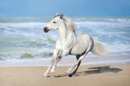 Weißes Pferd läuft im Galopp am Strand entlang