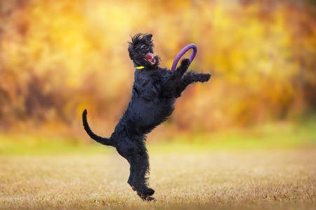 Giant Schnauzer dog play in fall landscape