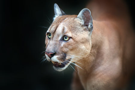 cougar close up portrait with beautiful eyes isolated on black background