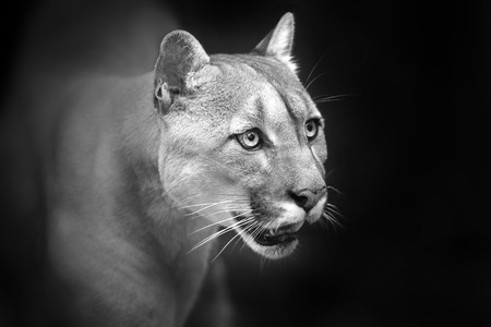cougar close up portrait with beautiful eyes isolated on black background. Black and white
