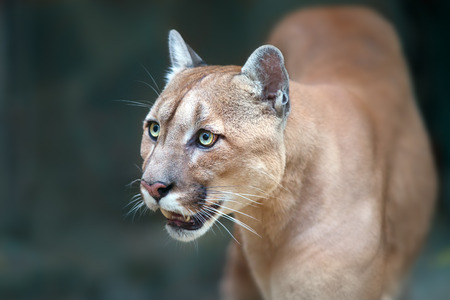 cougar close up portrait with beautiful eyes
