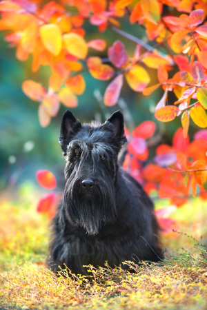 Scottish Terrier portrait in fall landscape Imagens