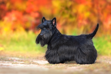 Scottish Terrier portrait in fall landscape 版權商用圖片
