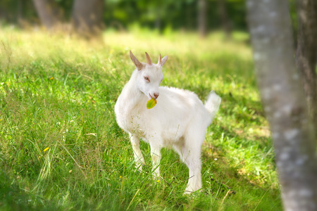 Beautiful cute goat kid on green spring grass Standard-Bild - 117969402