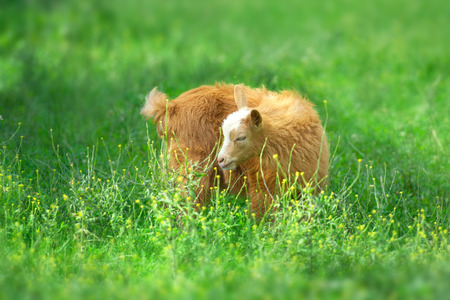 Beautiful cute goat kid on green spring grass Standard-Bild - 117969403