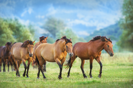 Horse herd run on summer pasture Standard-Bild - 117969406