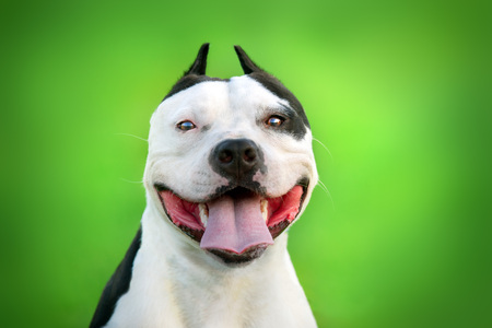 Beautiful dog American Pit Bull Terrier  close up portrait Standard-Bild - 117969449