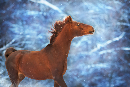 Red horse with long mane run fast in winter snow day Standard-Bild - 117969462