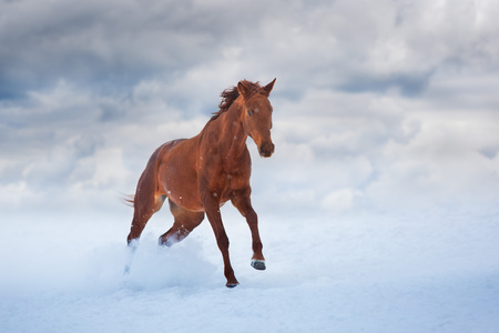 Red horse with long mane run fast in winter snow day