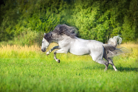 White Andalusian horse runs gallop in summerfield. Pura Raza Espanola