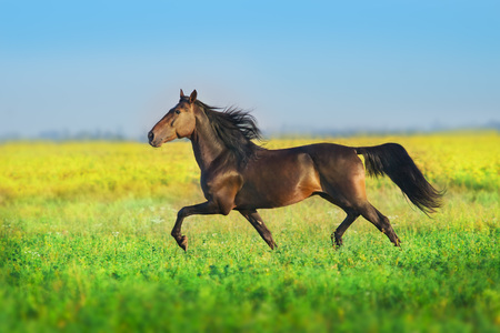 Bay trotter stallion run gallop in  spring meadow Stockfoto